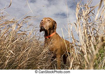 pointer dog seen from below through grass