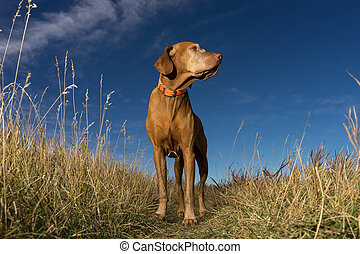 pointer dog standing in grass outdoors