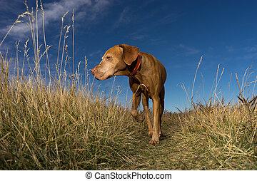 pointer dog walking through grass