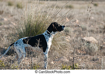 Black and white pointer hunting dog in full alertness