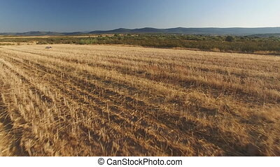 Pointer pedigree dog in cultivated wheat field - Sliding...