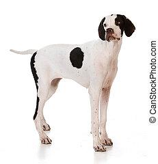 pointer puppy standing on white background