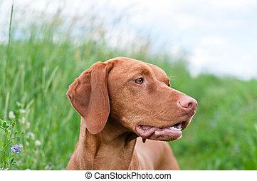pointer), vizsla, (hungarian, perro, retrato