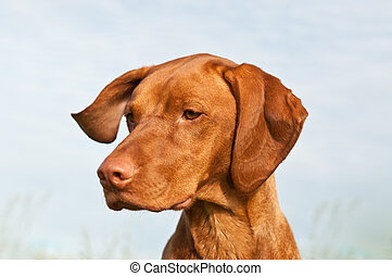 pointer), vizsla, primer plano, perro, (hungarian