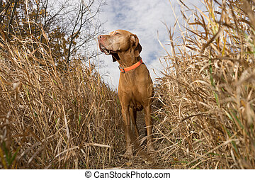 pointing dog standing in tall grass outdoors