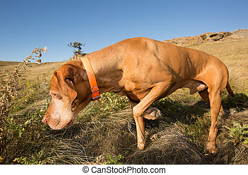 pointing vizsla dog in field