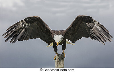 Poised in mid-air - Bald Eagle with wings outstretched,...