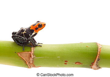 Poison arrow frog on branch isolated. Tropical small exotic amphibian from Amazon jungle in Peru kept as pet animal in a jungle terrarium. Macro of beautiful cute poisonous amphibian ranitomeya fantastica