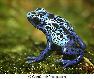 Poison Dart Frog - A tiny poisonous frog.