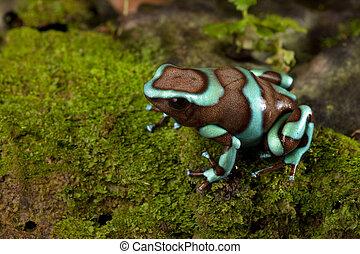 poison dart frog dendrobates auratus in panama rainforest