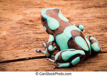 Poison dart frog, Dendrobates auratus Pena Blanca. Poisonous...