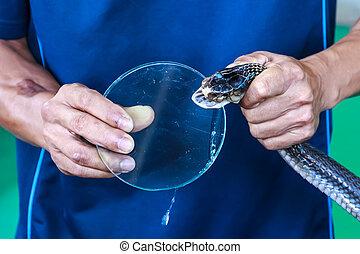 Poison drops of a snake cobra