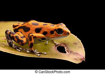 poison frog macro