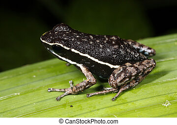 poison-frog, picta), (ameerega, amazonian, pale-striped