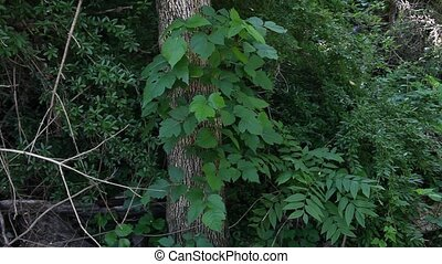 Poison Ivy growing on a tree - This is a video of poison ivy...