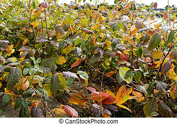 Poison ivy in september as background