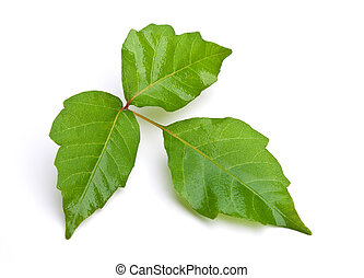 Poison Ivy Isolated - Close-up of Poison Ivy leaves isolated...