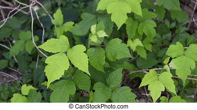 Poison Ivy plant - This is a video of poison ivy.