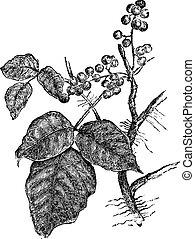 Poison ivy (Rhus Toxicodendron), vintage engraving. - Poison...