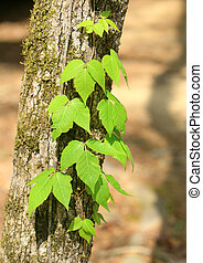 Poison ivy vine growing on tree trunk