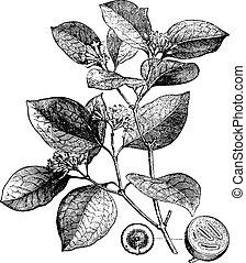 Poison nut, vintage engraved illustration. La Vie dans la nature, 1890.