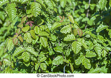 Poison oak - Beautiful green poison oak Toxicodendron...