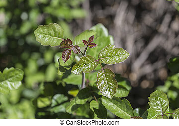 Poison Oak showing fresh spring growth.
