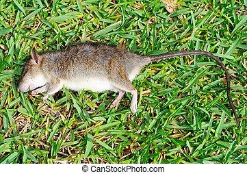 Poisoned dead rat on grass.