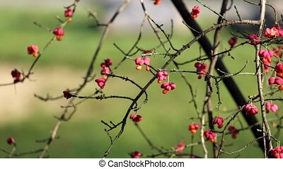 Poisonous berries of burningbush (Euonymus atropurpureus) -...