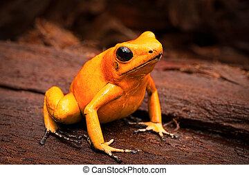 poisonous frog, poison dart frog Phyllobates terribilis a...