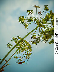 hogweed and spider under blue sky with clouds - Poisonous ...