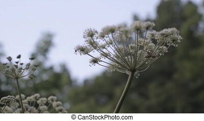 Poisonous Hogweed close up with copy space, Gout wort - medicinal plant in evening forest. Nature background for Traditional medicine and Reportage about the forest. High quality FullHD footage