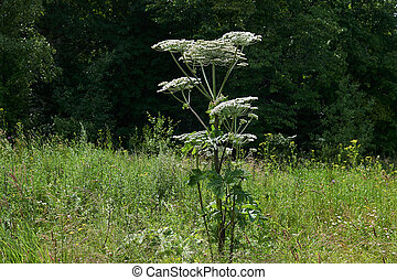 poisonous invasive weed Sosnovsky hogweed in the meadow - ...