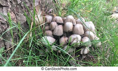 Poisonous mushrooms grow under a tree, Coprinellus...