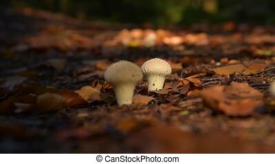 poisonous mushrooms in the forest - Wild mushrooms deep in...