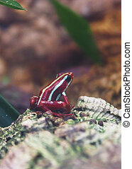 red striped frog - poisonous red striped frog