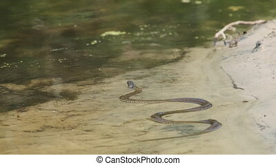 Poisonous Snake Crawls along the River Bank. Viper crawling in the Water. Snake with black ears Swims in the marshes. Close-up. Slow Motion. Summer, sunny day.