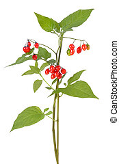 Poisonous Solanum dulcamara branch, isolated on white ...