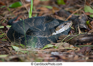 water moccasin - Poisonous water moccasin coiled on the...