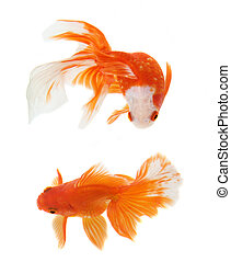 poisson or, fond blanc