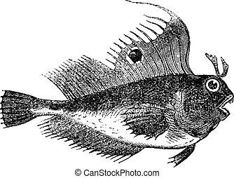 poisson papillon, vendange, blenny, illustration, aussi, ocellaris., blennius, connu, ocellaris, gravé