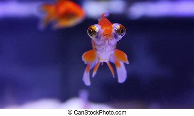 poisson rouge, aquarium, télescope