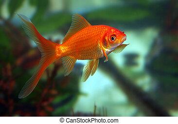 poisson rouge, baiser