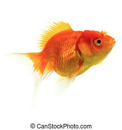 poisson rouge, blanc, isolé, fond
