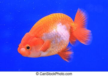 Images et photos de oranda 149 images et photographies for Recherche poisson rouge