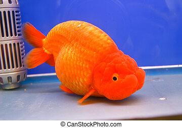 Poisson rouge amour coeur deux haut aller poisson for Tarif poisson rouge
