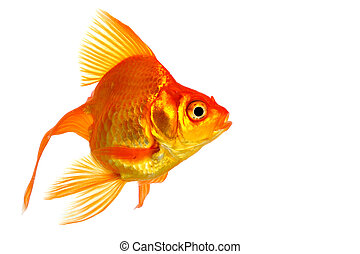 Poisson rouge blanc isol fond photographies de stock for Tarif poisson rouge