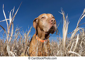 poiting dog in the tall autumn grass outdoors