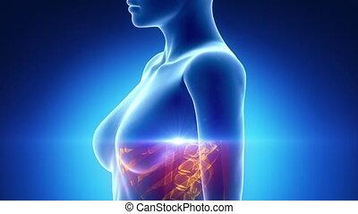 poitrine, balayage, femme, anatomie, organes