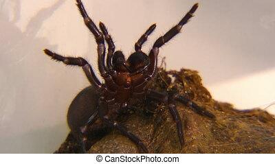Poking Sydney Funnel-Web Spider - Handheld, close up shot of...
